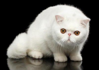gato exotico caracter