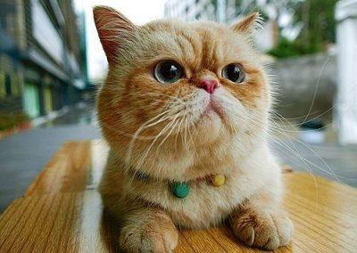 gato exotico caracteristicas fisicas