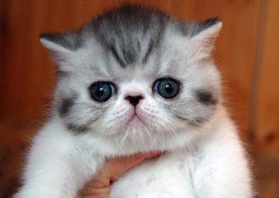 gato exotico criadero