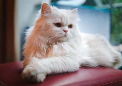 gato persa gris y blanco