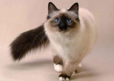 gato persa negro ojos azules