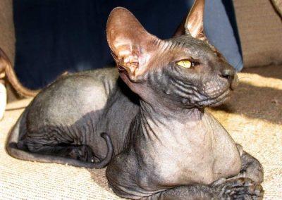 gato peterbald precio