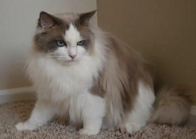 gato ragdoll criadero