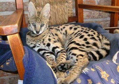 gato savannah f1