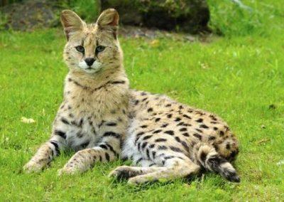 gato savannah precio