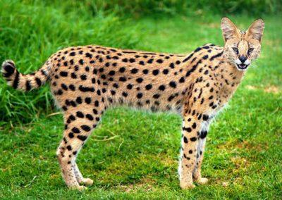 gato savannah tamaño