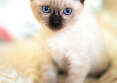 gato siames blanco ojos azules bebe