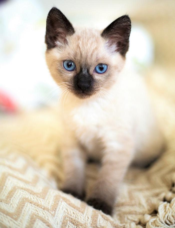 El Gato Siamés De Misteriosos Ojos Azules Losanimalesorg