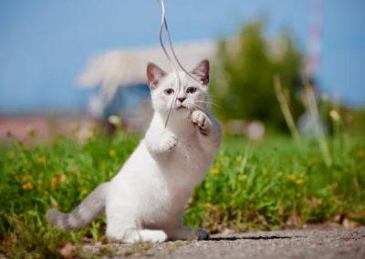 gatos enanos munchkin