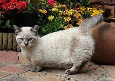 gatos munchkin para adoptar