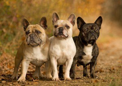hasta que edad crecen los bulldog frances