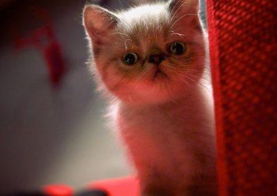 historia del gato exotico