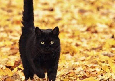 imagenes de gato bombay