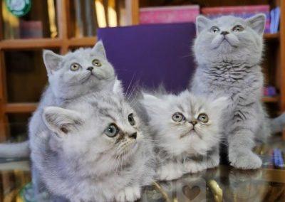 imagenes de gatos persa bebes