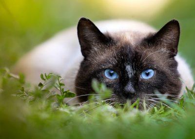 imagenes de gatos siameses bebes tiernos