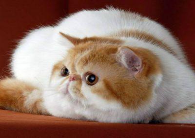informacion sobre el gato exotico