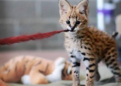 informacion sobre el gato savannah
