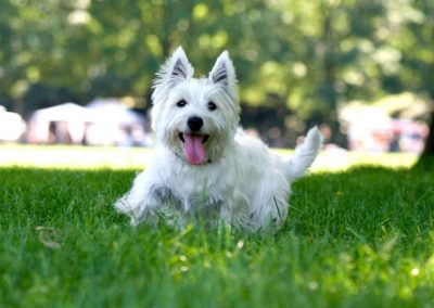 la guía del west highland white terrier en español