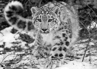 leopardo de las nieves en peligro de extincion