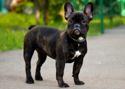 los mejores bulldog frances del mundo
