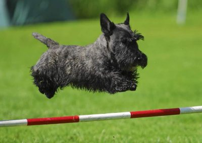 origen del scottish terrier