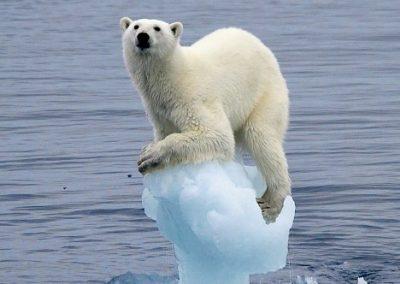 oso polar en peligro de extincion causas y consecuencias