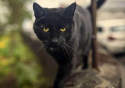 personalidad del gato bombay