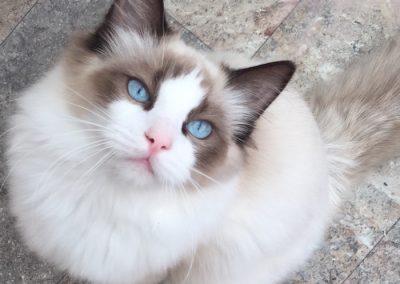 precio de gato ragdoll