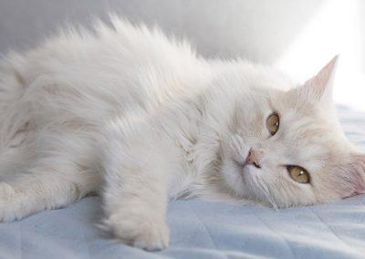 que comen los gatos angora turco