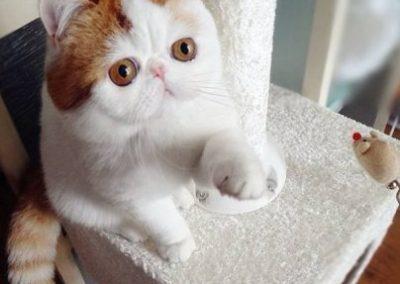 quiero comprar un gato exotico