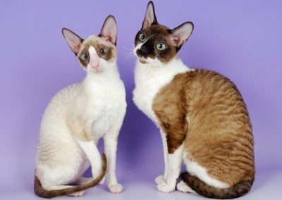 raza de gato cornish rex
