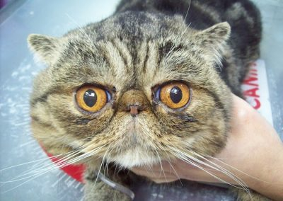 raza de gato exotico