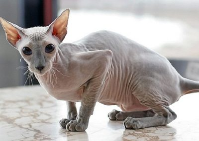 raza de gato peterbald