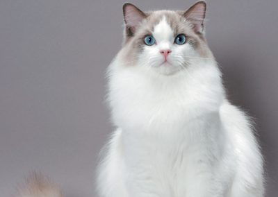 raza de gato ragdoll