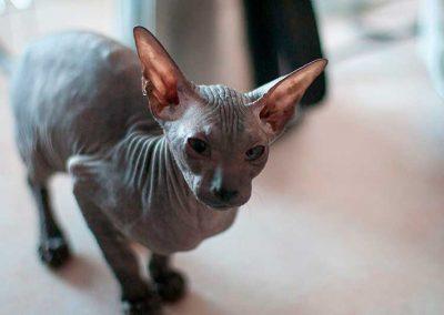 raza de gatos peterbald