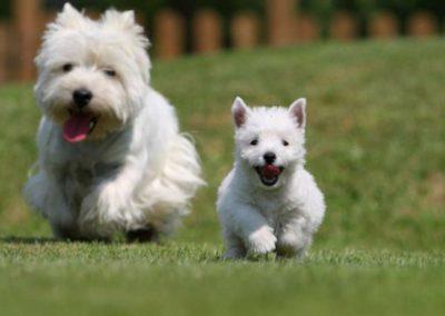 raza de perro west highland white terrier precio
