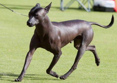 raza xoloitzcuintle perro azteca