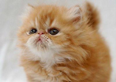 regalo gato persa