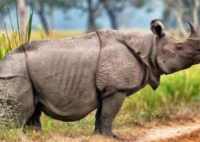 rinoceronte de java en peligro de extincion