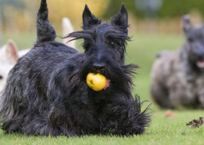 temperamento del scottish terrier