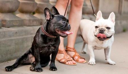 tipos de razas de bulldog frances