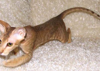 vendo gato peterbald