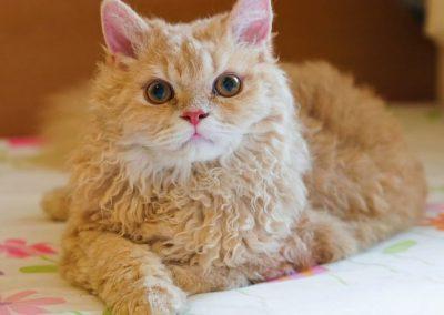 venta de gatos la perm