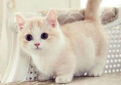 venta de gatos munchkin