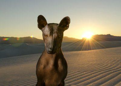 xoloitzcuintle perro casi sin pelo originario de méxico